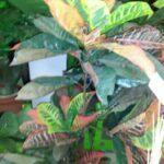 Кротон искусственное растение купить в Барнауле