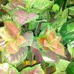 колиус искусственное растение купить в Барнауле