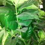 Куст гортензии нецветущей искусственное растение купить в Барнауле